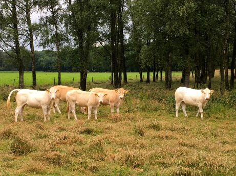 Heifers in Helvoirt.
